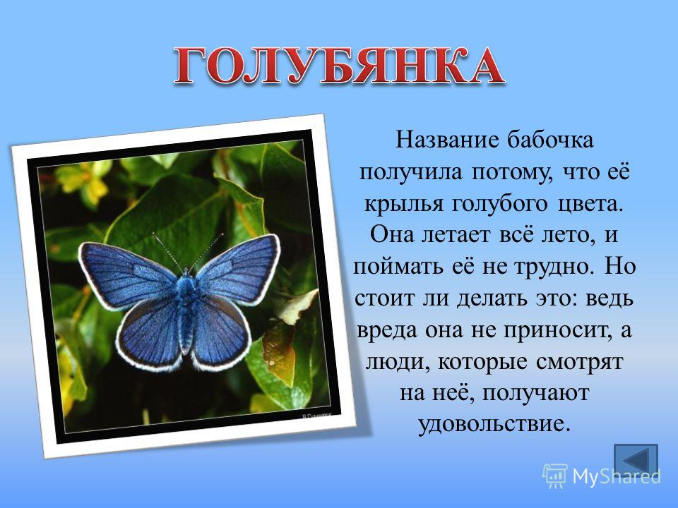 Название бабочка получила потому, что её крылья голубого цвета. Она летает всё лето, и поймать её не трудно. Но стоит ли делать это: ведь вреда она не приносит, а люди, которые смотрят на неё, получают удовольствие.