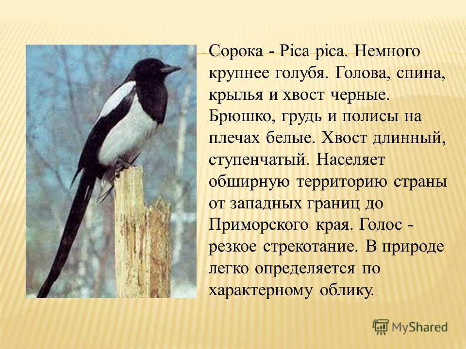 Сорока - Pica pica. Немного крупнее голубя. Голова, спина, крылья и хвост черные. Брюшко, грудь и полисы на плечах белые. Хвост длинный, ступенчатый. Населяет обширную территорию страны от западных границ до Приморского края. Голос - резкое стрекотан