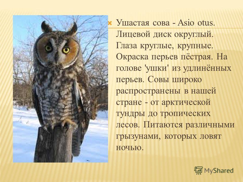 Ушастая сова - Asio otus. Лицевой диск округлый. Глаза круглые, крупные. Окраска перьев пёстрая. На голове 'ушки' из удлинённых перьев. Совы широко распространены в нашей стране - от арктической тундры до тропических лесов. Питаются различными грызун