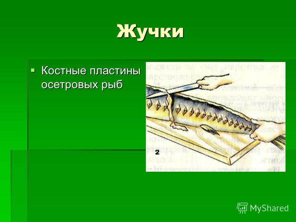 Жучки Костные пластины осетровых рыб Костные пластины осетровых рыб