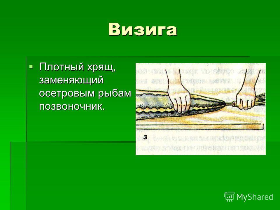 Визига Плотный хрящ, заменяющий осетровым рыбам позвоночник. Плотный хрящ, заменяющий осетровым рыбам позвоночник.