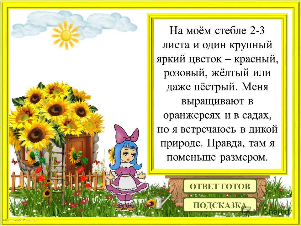 http://linda6035.ucoz.ru/ На моём стебле 2-3 листа и один крупный яркий цветок – красный, розовый, жёлтый или даже пёстрый. Меня выращивают в оранжереях и в садах, но я встречаюсь в дикой природе. Правда, там я поменьше размером. ОТВЕТ ГОТОВ ПОДСКАЗК