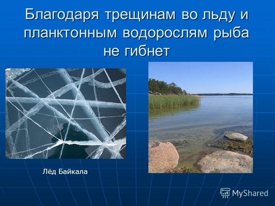 Благодаря трещинам во льду и планктонным водорослям рыба не гибнет Лёд Байкала