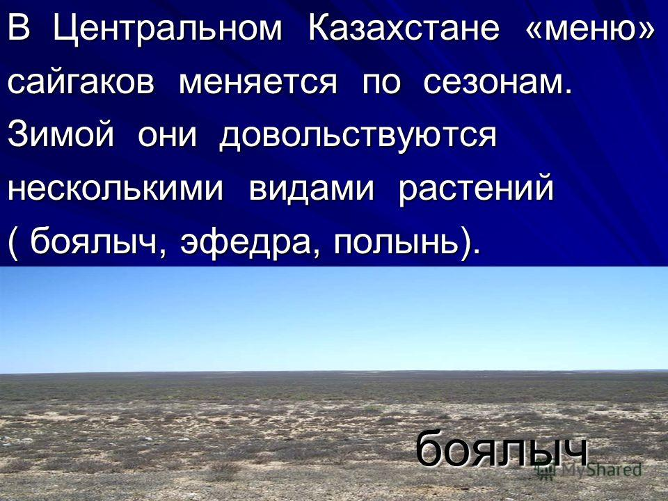 В Центральном Казахстане «меню» сайгаков меняется по сезонам. Зимой они довольствуются несколькими видами растений ( боялыч, эфедра, полынь). боялыч