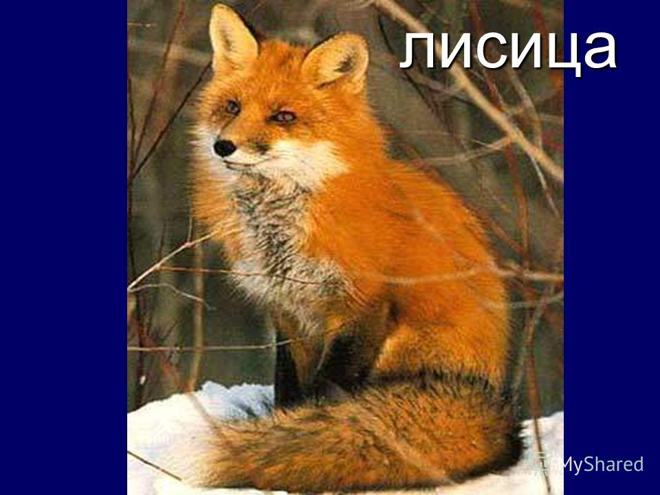 Враги сайги лисица
