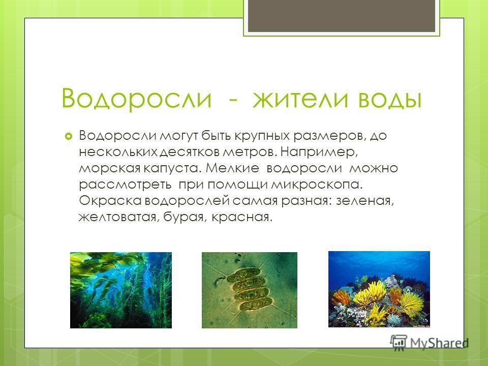 Водоросли - жители воды Водоросли могут быть крупных размеров, до нескольких десятков метров. Например, морская капуста. Мелкие водоросли можно рассмотреть при помощи микроскопа. Окраска водорослей самая разная: зеленая, желтоватая, бурая, красная.
