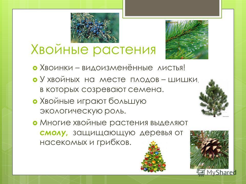 Хвойные растения Хвоинки – видоизменённые листья! У хвойных на месте плодов – шишки, в которых созревают семена. Хвойные играют большую экологическую роль. Многие хвойные растения выделяют смолу, защищающую деревья от насекомых и грибков.