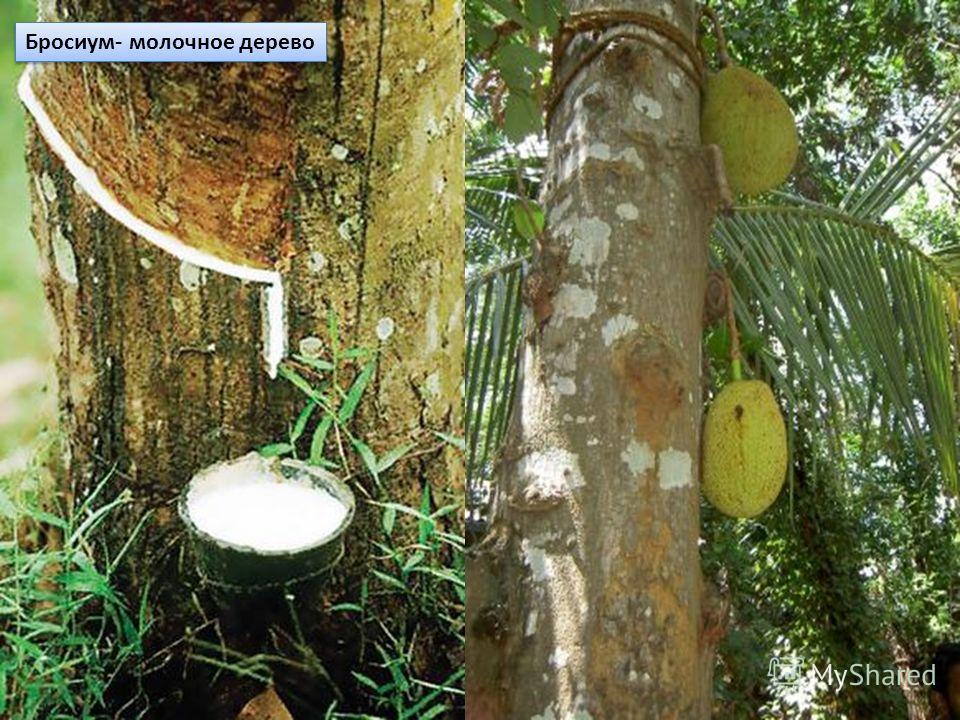 Бросиум- молочное дерево