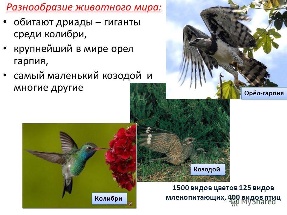 Разнообразие животного мира: обитают дриады – гиганты среди колибри, крупнейший в мире орел гарпия, самый маленький козодой и многие другие 1500 видов цветов 125 видов млекопитающих, 400 видов птиц Орёл-гарпия Козодой Колибри