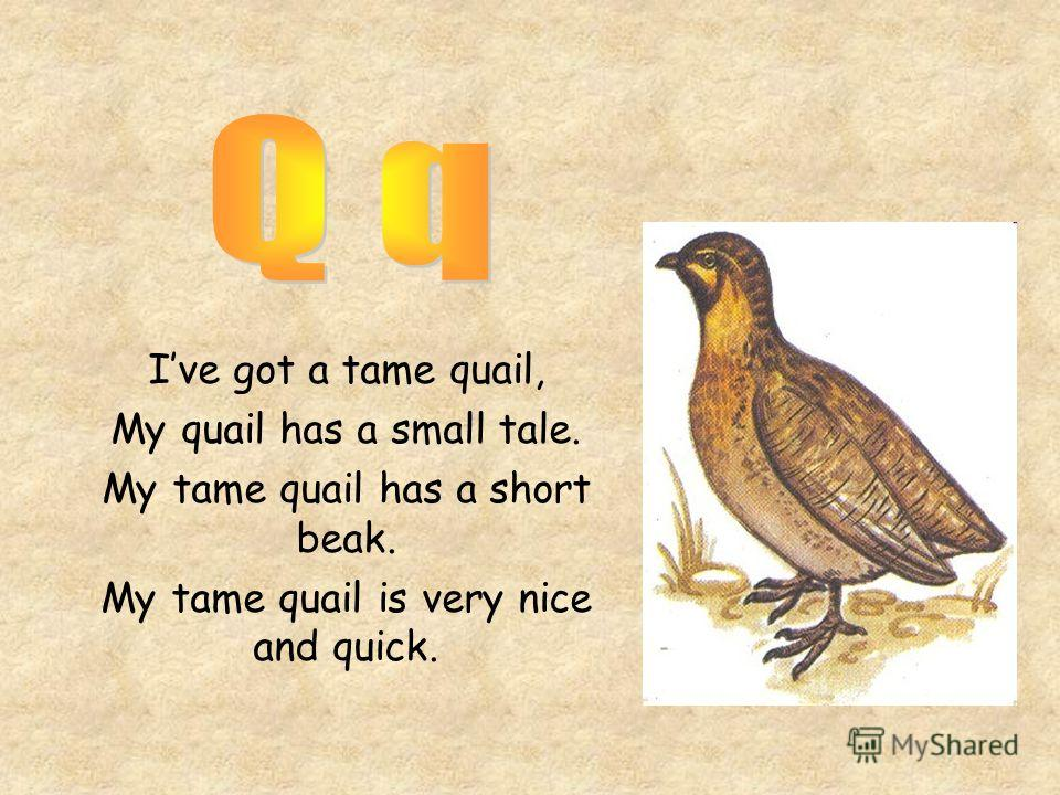 Ive got a tame quail, My quail has a small tale. My tame quail has a short beak. My tame quail is very nice and quick.