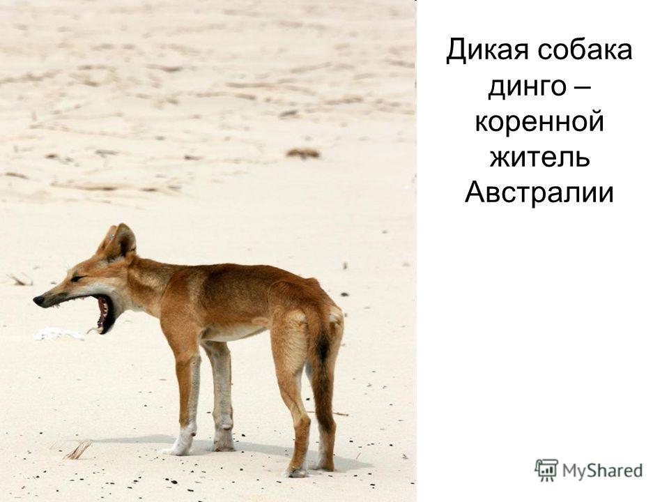 Дикая собака динго – коренной житель Австралии