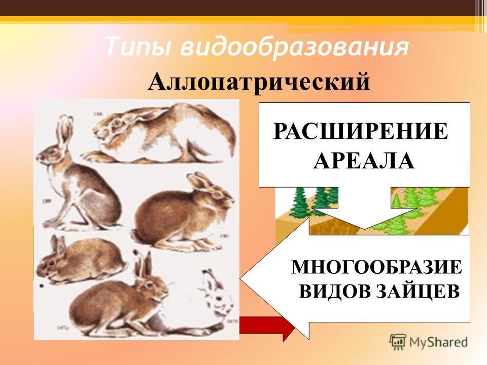 19 Типы видообразования Аллопатрический РАСШИРЕНИЕ АРЕАЛА МНОГООБРАЗИЕ ВИДОВ ЗАЙЦЕВ