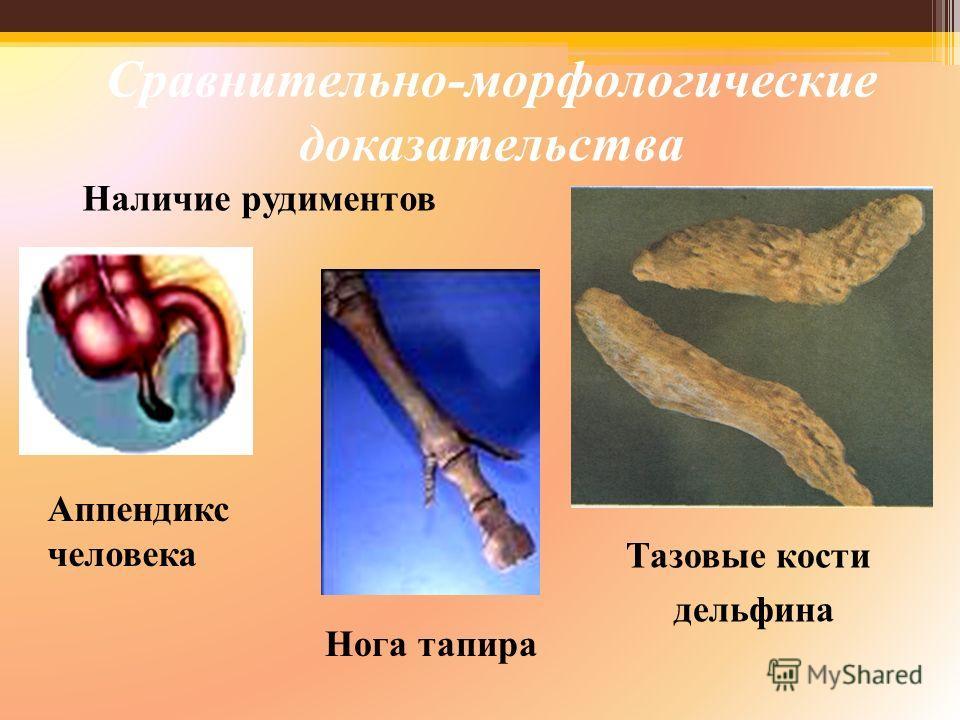 Наличие рудиментов Аппендикс человека Нога тапира Тазовые кости дельфина