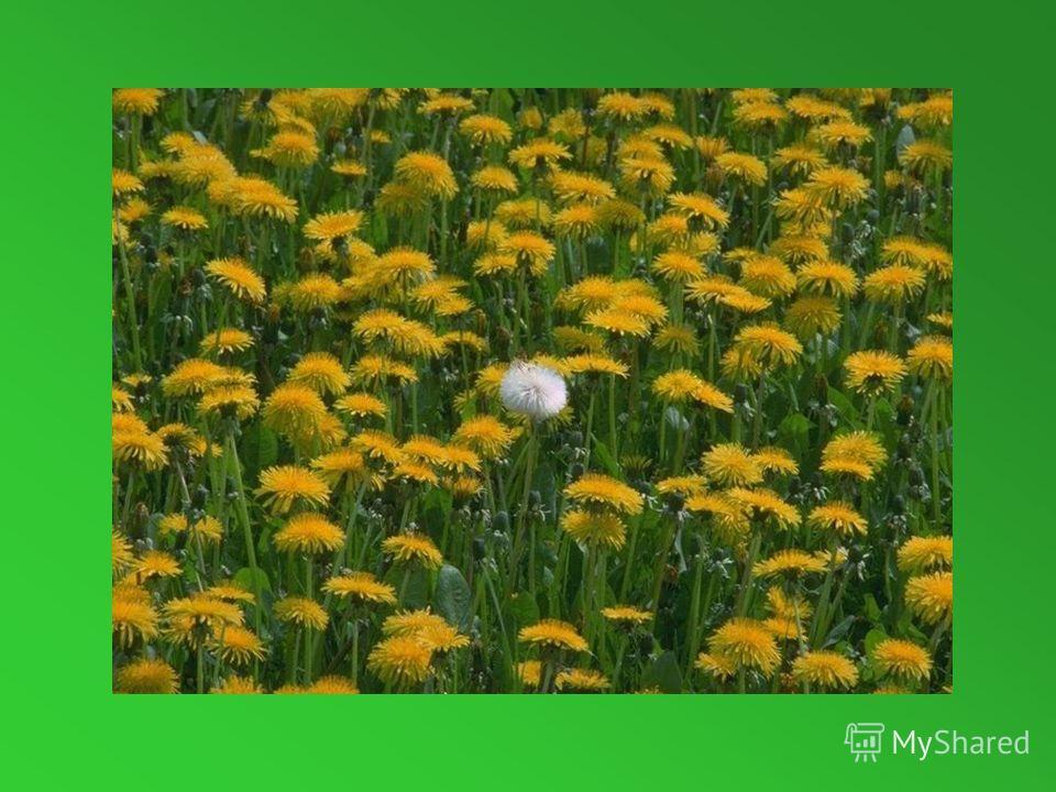 Белым шариком пушистым Я красуюсь в поле чистом. Дунул лёгкий ветерок- И остался стебелёк.