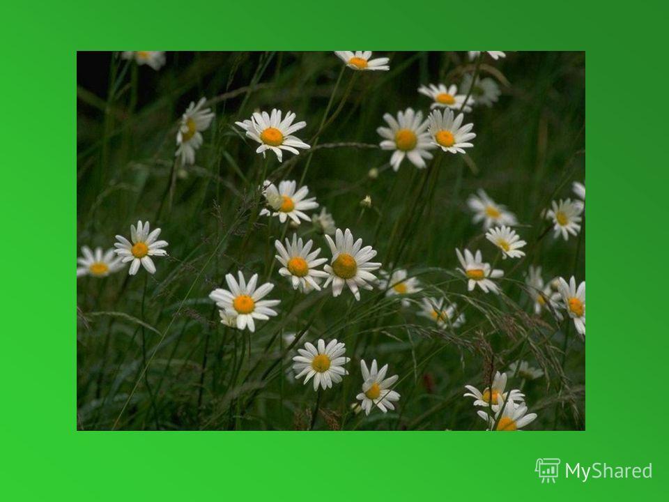 Стоит в саду кудряшка- Белая рубашка, Сердечко золотое.