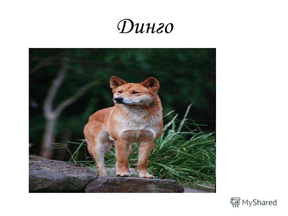 Динго