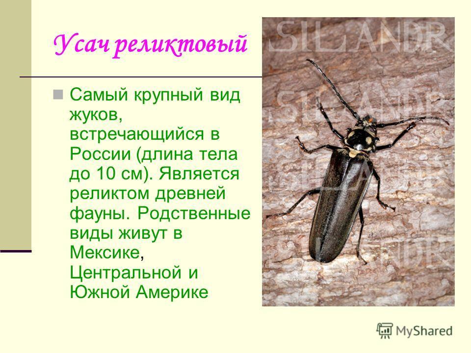 Усач реликтовый Самый крупный вид жуков, встречающийся в России (длина тела до 10 см). Является реликтом древней фауны. Родственные виды живут в Мексике, Центральной и Южной Америке