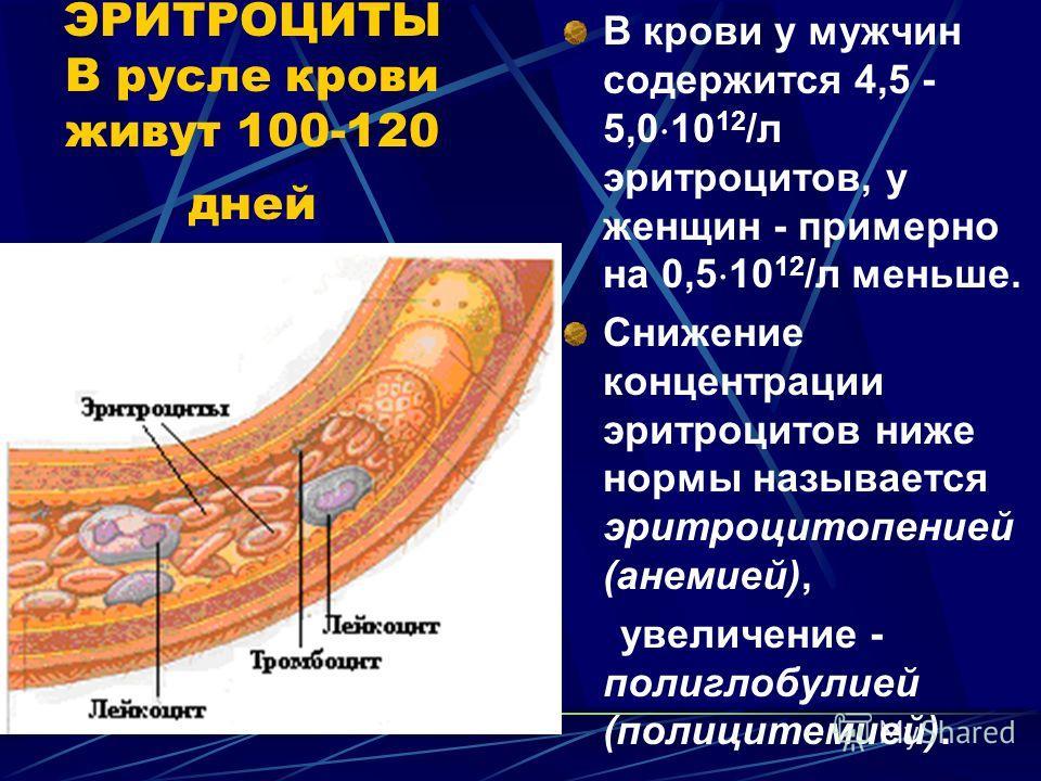ЭРИТРОЦИТЫ В русле крови живут 100-120 дней В крови у мужчин содержится 4,5 - 5,0 10 12 /л эритроцитов, у женщин - примерно на 0,5 10 12 /л меньше. Снижение концентрации эритроцитов ниже нормы называется эритроцитопенией (анемией), увеличение - полиг