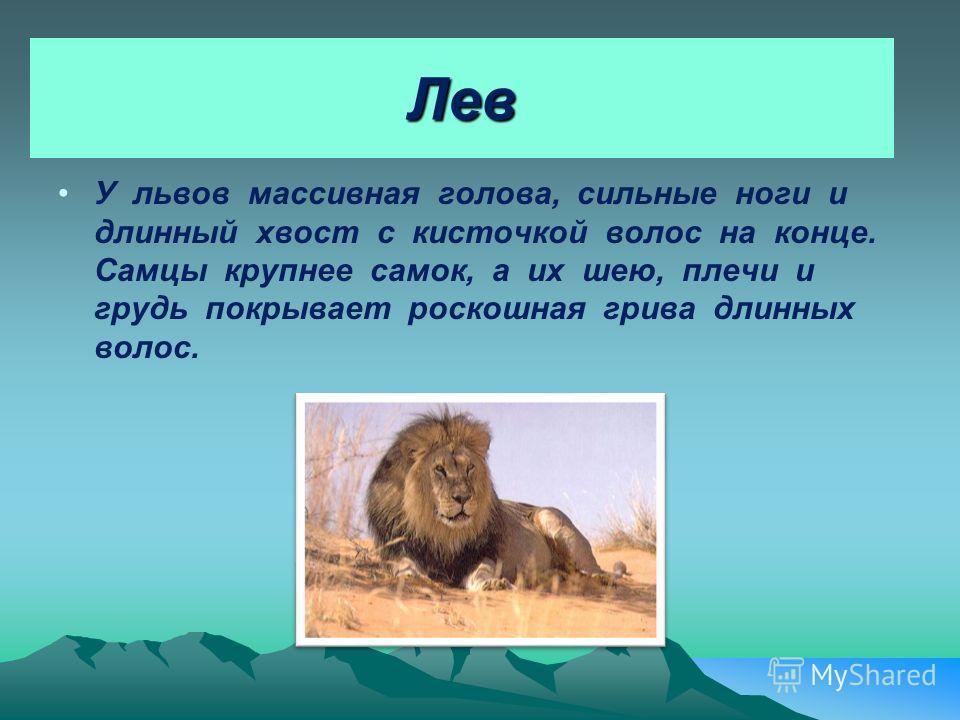 Лев У львов массивная голова, сильные ноги и длинный хвост с кисточкой волос на конце. Самцы крупнее самок, а их шею, плечи и грудь покрывает роскошная грива длинных волос.