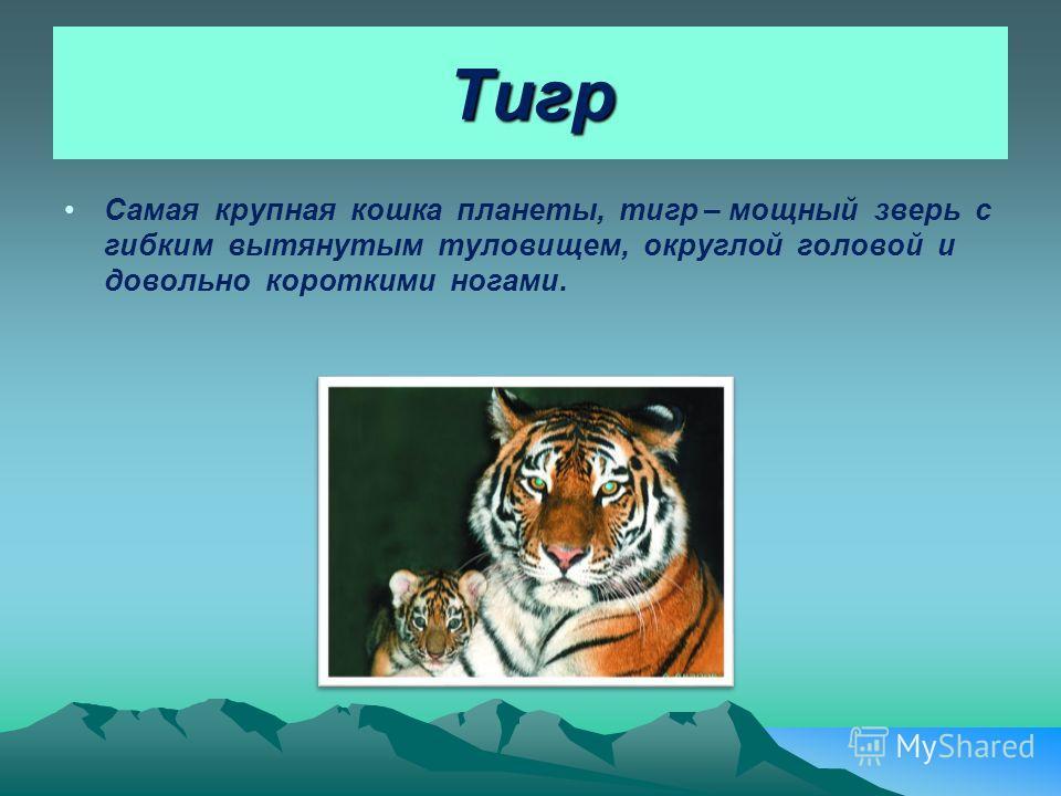 Тигр Самая крупная кошка планеты, тигр – мощный зверь с гибким вытянутым туловищем, округлой головой и довольно короткими ногами.