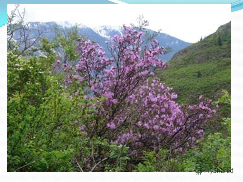 Кустарников в крае произрастает несколько десятков видов, многие из которых дают съедобную ягоду малина, ежевика, смородина, жимолость, голубика, брусника. Красивы ранней весной склоны гор, покрытые цветущим ярким малиново-фиолетовым цветом вечнозелё