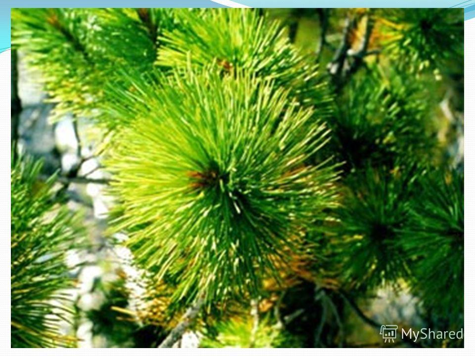 Сибирская кедровая сосна, кедр знаменитая древесная порода алтайских лесов. Это могучее дерево с тёмно-зелёной кроной, с колючей длинной хвоей. Образует частые, сплошные кедрачи по склонам гор или встречается как примесь в лиственных и пихтовых лесах