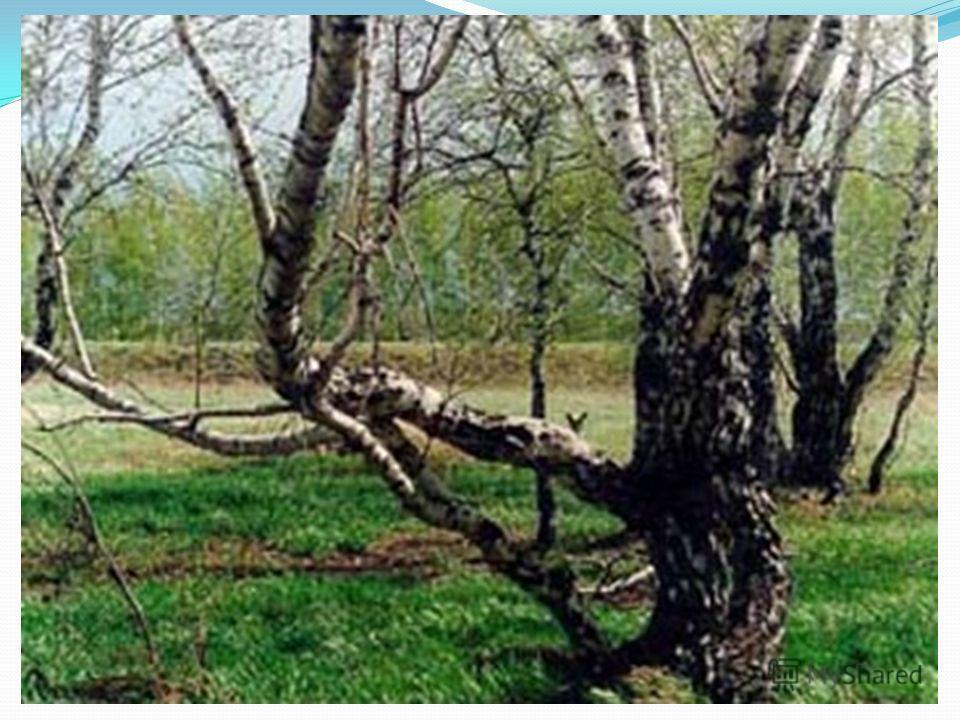 В лесах Алтайского края из лиственных пород наиболее часто встречаются берёза, осина и тополь. В равнинной части Алтая повсеместно встречаются как берёзовые, так и смешанные колки небольшие рощи из деревьев этих пород с обильным кустарником.