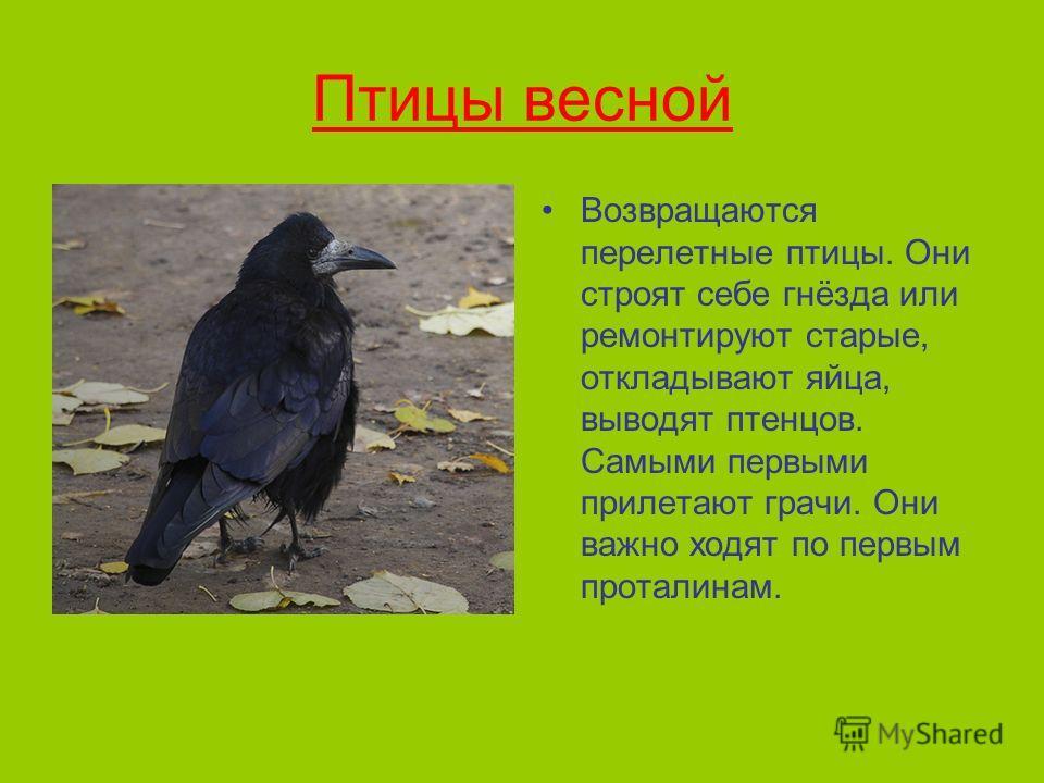 Птицы весной Возвращаются перелетные птицы. Они строят себе гнёзда или ремонтируют старые, откладывают яйца, выводят птенцов. Самыми первыми прилетают грачи. Они важно ходят по первым проталинам.