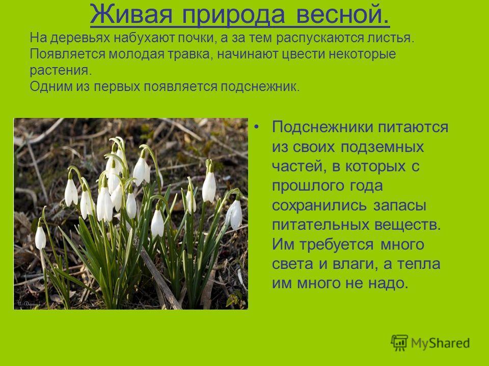 Живая природа весной. На деревьях набухают почки, а за тем распускаются листья. Появляется молодая травка, начинают цвести некоторые растения. Одним из первых появляется подснежник. Подснежники питаются из своих подземных частей, в которых с прошлого