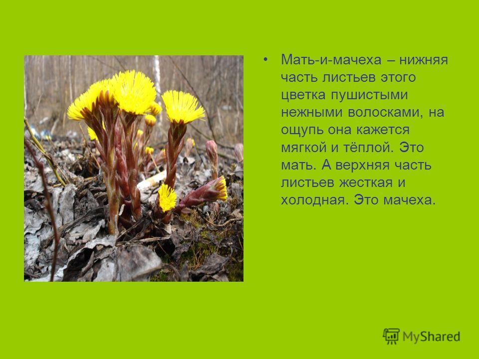 Мать-и-мачеха – нижняя часть листьев этого цветка пушистыми нежными волосками, на ощупь она кажется мягкой и тёплой. Это мать. А верхняя часть листьев жесткая и холодная. Это мачеха.