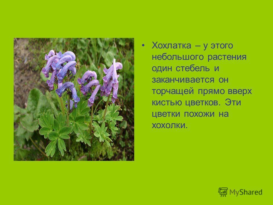Хохлатка – у этого небольшого растения один стебель и заканчивается он торчащей прямо вверх кистью цветков. Эти цветки похожи на хохолки.
