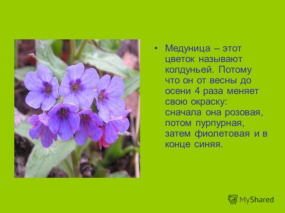 Медуница – этот цветок называют колдуньей. Потому что он от весны до осени 4 раза меняет свою окраску: сначала она розовая, потом пурпурная, затем фиолетовая и в конце синяя.