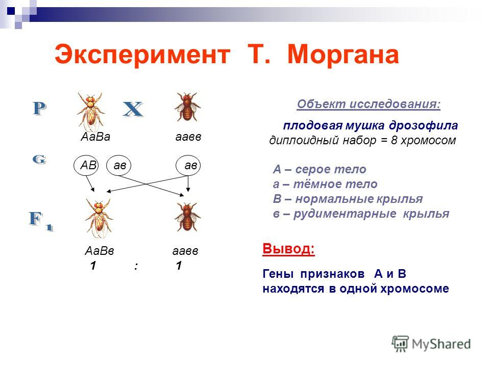 Эксперимент Т. Моргана Объект исследования: плодовая мушка дрозофила диплоидный набор = 8 хромосом А – серое тело а – тёмное тело В – нормальные крылья в – рудиментарные крылья Вывод: Гены признаков А и В находятся в одной хромосоме Аа Ва аавв АВ ав