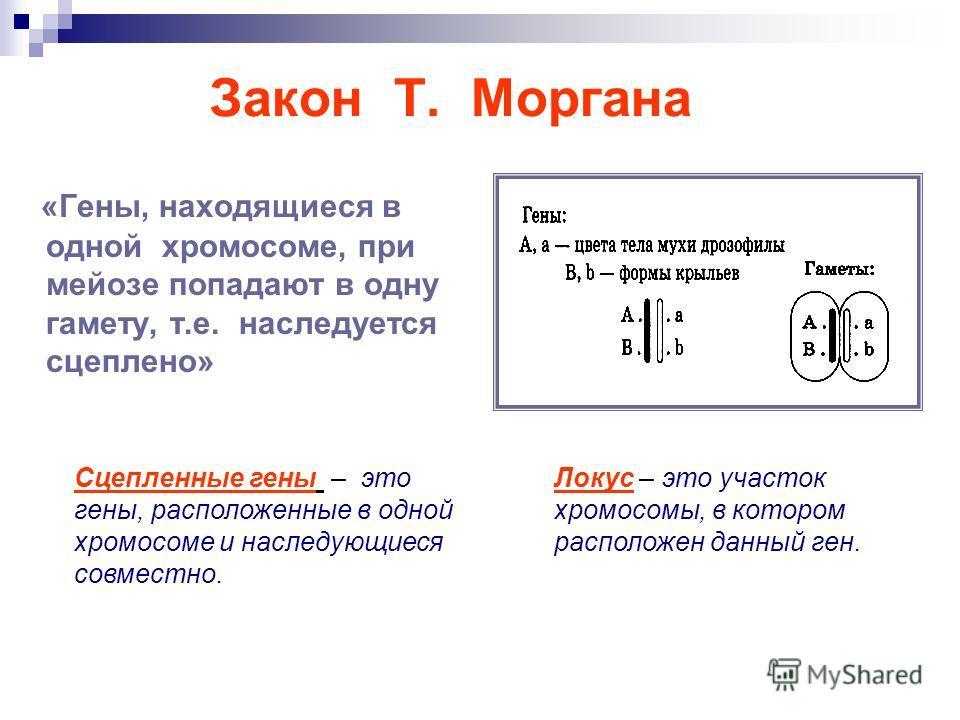 «Гены, находящиеся в одной хромосоме, при мейозе попадают в одну гамету, т.е. наследуется сцеплено» Закон Т. Моргана Сцепленные гены – это гены, расположенные в одной хромосоме и наследующиеся совместно. Локус – это участок хромосомы, в котором распо