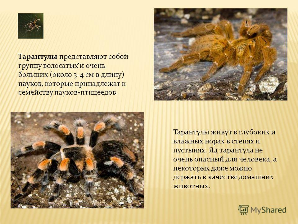 . Тарантулы представляют собой группу волосатых и очень больших (около 3-4 см в длину) пауков, которые принадлежат к семейству пауков-птицеедов. Тарантулы живут в глубоких и влажных норах в степях и пустынях. Яд тарантула не очень опасный для человек
