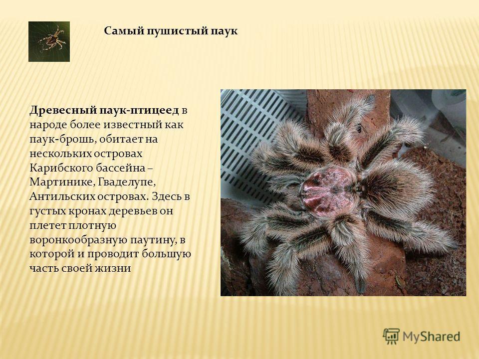 Самый пушистый паук Древесный паук-птицеед в народе более известный как паук-брошь, обитает на нескольких островах Карибского бассейна – Мартинике, Гваделупе, Антильских островах. Здесь в густых кронах деревьев он плетет плотную воронкообразную паути