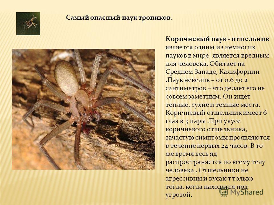 Самый опасный паук тропиков. Коричневый паук - отшельник является одним из немногих пауков в мире, является вредным для человека. Обитает на Среднем Западе, Калифорнии.Паук невелик – от 0,6 до 2 сантиметров – что делает его не совсем заметным. Он ище