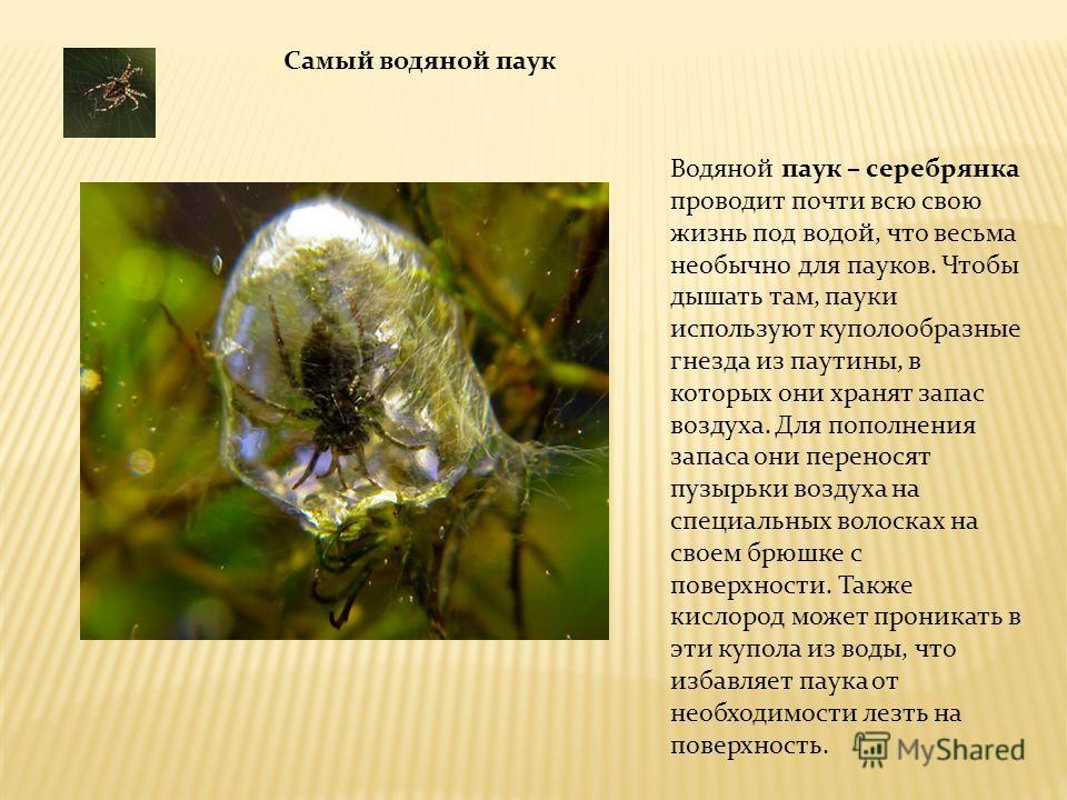 Водяной паук – серебрянка проводит почти всю свою жизнь под водой, что весьма необычно для пауков. Чтобы дышать там, пауки используют куполообразные гнезда из паутины, в которых они хранят запас воздуха. Для пополнения запаса они переносят пузырьки в