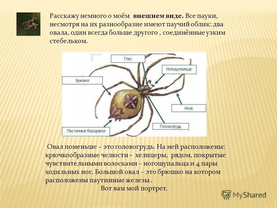 Расскажу немного о моём внешнем виде. Все пауки, несмотря на их разнообразие имеют паучий облик: два овала, один всегда больше другого, соединённые узким стебельком. Овал поменьше – это головогрудь. На ней расположены: крючкообразные челюсти - хелице