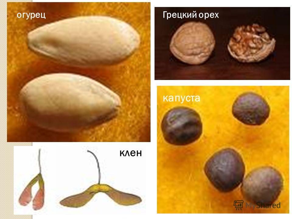 огурец Грецкий орех капуста клен