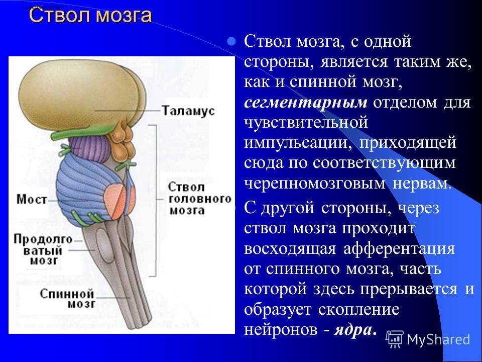 Ствол мозга Ствол мозга, с одной стороны, является таким же, как и спинной мозг, сегментарным отделом для чувствительной импульсации, приходящей сюда по соответствующим черепномозговым нервам. С другой стороны, через ствол мозга проходит восходящая а