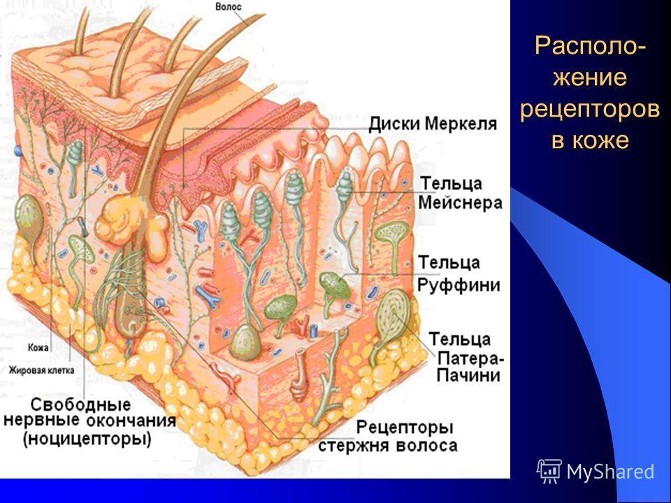 Располо- жение рецепторов в коже