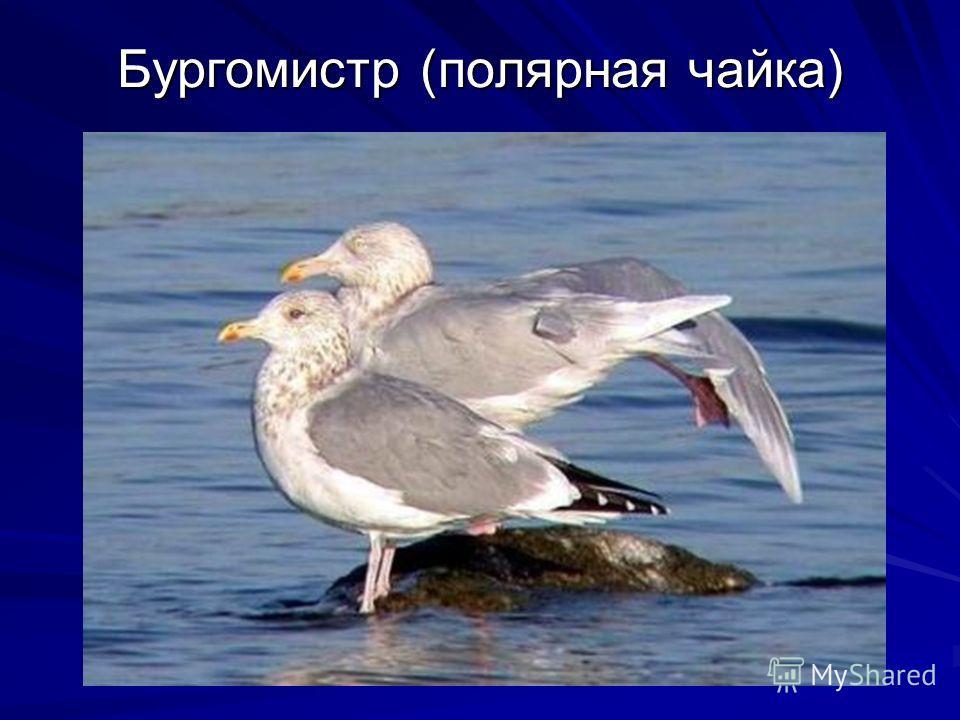 Бургомистр (полярная чайка)