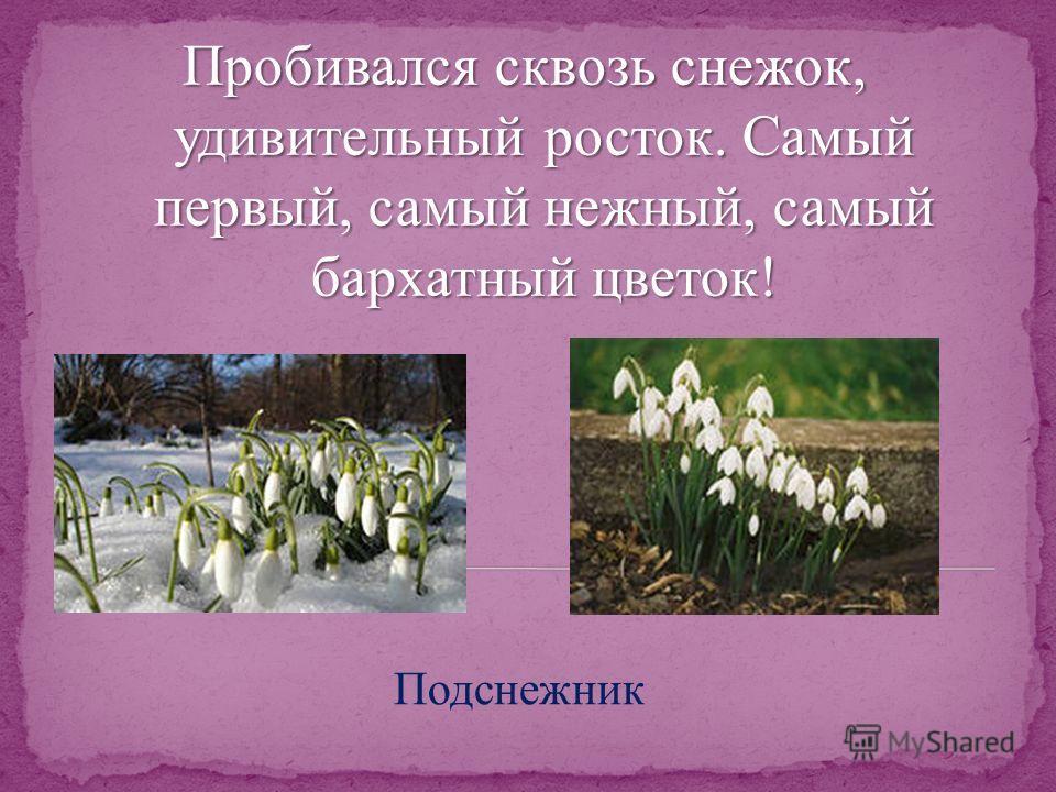 Пробивался сквозь снежок, удивительный росток. Самый первый, самый нежный, самый бархатный цветок! Подснежник