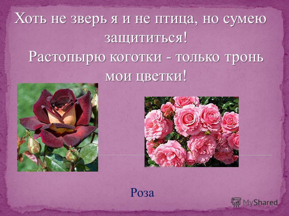 Хоть не зверь я и не птица, но сумею защититься! Растопырю коготки - только тронь мои цветки! Роза