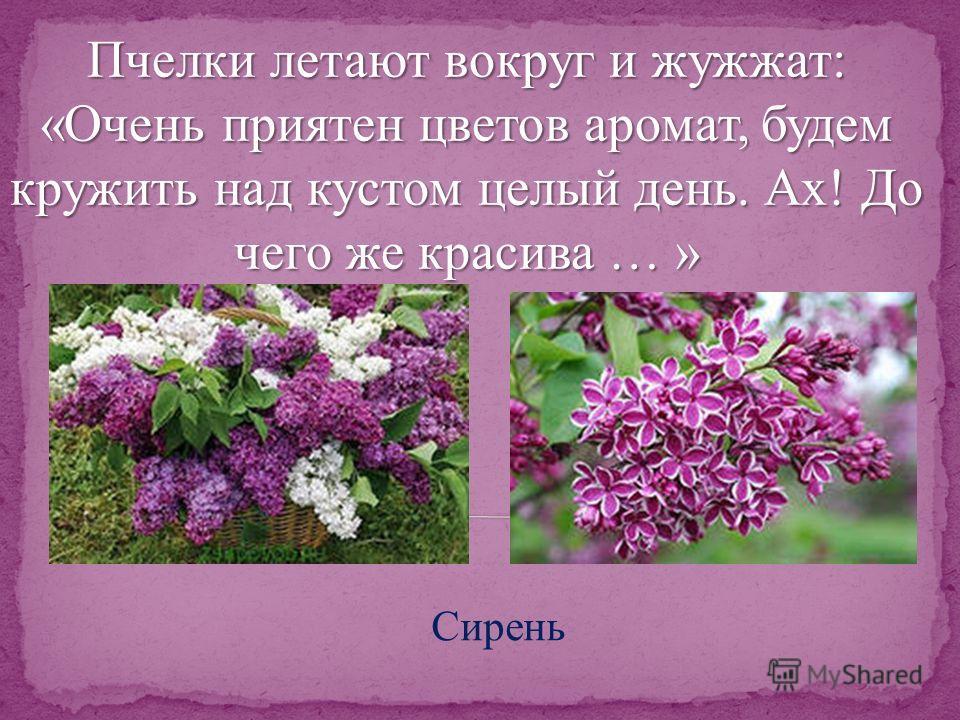 Пчелки летают вокруг и жужжат: «Очень приятен цветов аромат, будем кружить над кустом целый день. Ах! До чего же красива … » Сирень