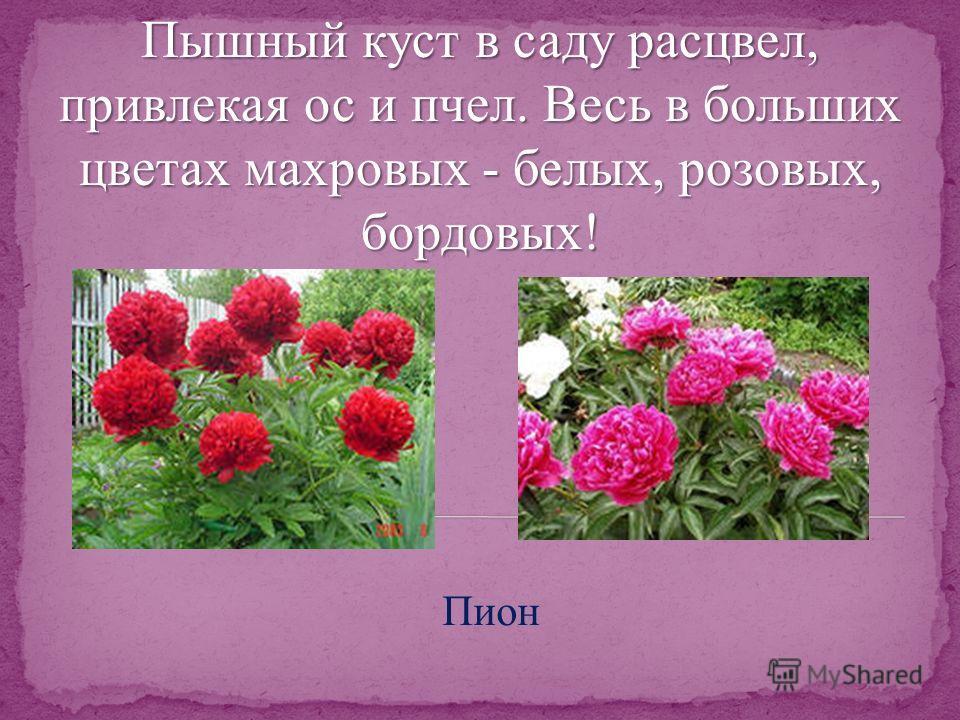 Пышный куст в саду расцвел, привлекая ос и пчел. Весь в больших цветах махровых - белых, розовых, бордовых! Пион