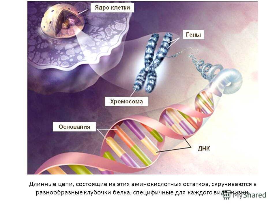 Длинные цепи, состоящие из этих аминокислотных остатков, скручиваются в разнообразные клубочки белка, специфичные для каждого вида жизни.