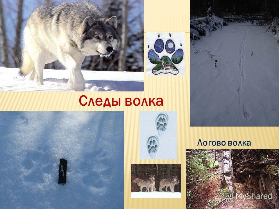 Логово волка Следы волка