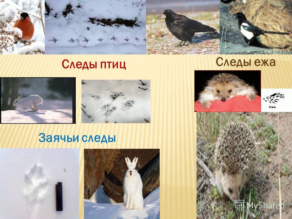Заячьи следы Следы ежа Следы птиц
